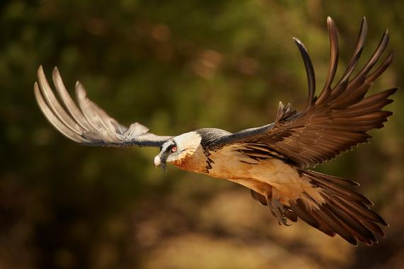 oiseau gypaete©shutterstock